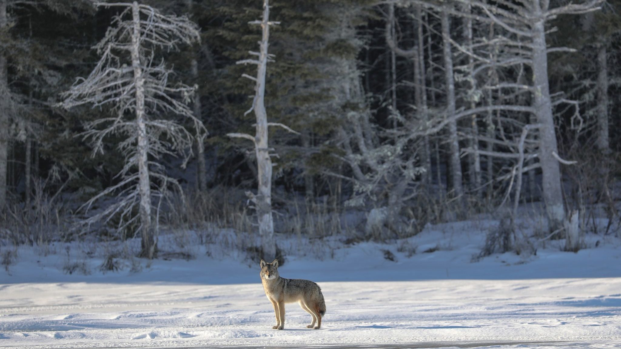 A coyote in Gatineau Park