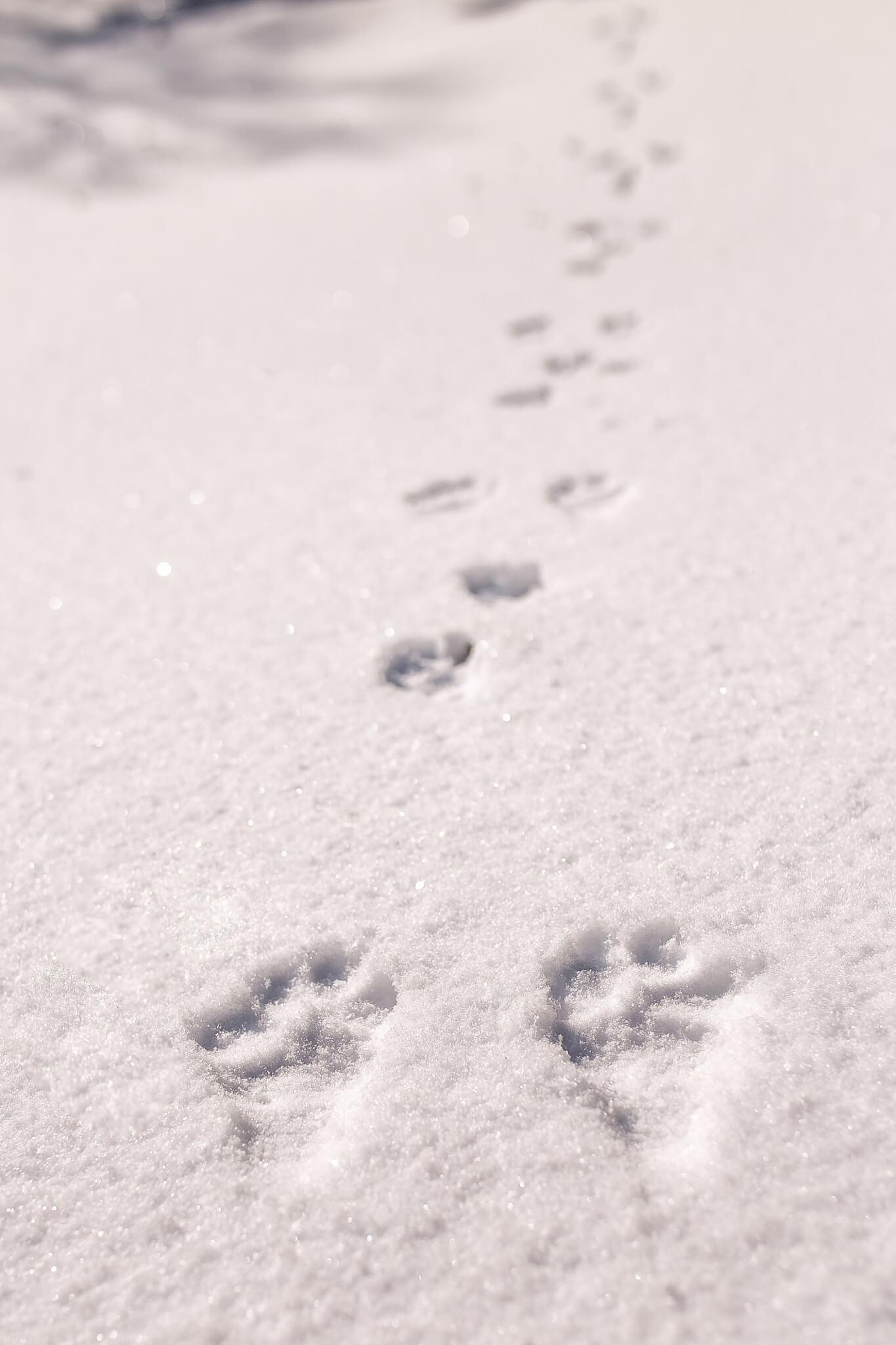 Tracks in the snow left by a hare